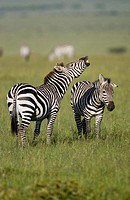 Burchell´s Zebra braying in the Masai Mara