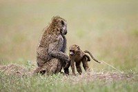 Baboon Male and Baby groom in Nakuru