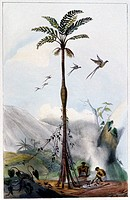 Brazillian landscape  19th century artwork of a tropical tree in Brazil  Two tribesmen are tending a fire at the base of the tree, and birds are seen ...