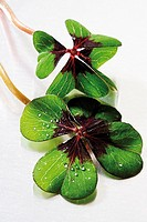 Two four-leafed clover, close-up
