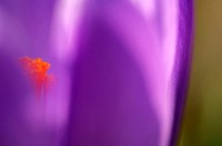 Purple crocus, close-up