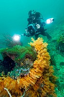 Diver filming soft corals  He is using a Sony Z1 high-definition camera in an Amphibico protective housing unit  The camera is mounted with a monitor,...