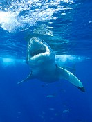 Great white shark Carcharodon carcharias approaching the surface of the water  This is the largest of the predatory sharks, reaching a length of over ...