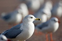 Ring billed gull Larus delawarensis  This gull can grow up to 49 centimetres in length and have a wingspan up to 124 centimetres  It breeds in colonie...
