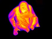 Orangutan  Thermogram of an orangutan Pongo pygmaeus  A thermogram shows variation in temperature on the surface of an object, measured by the long-wa...