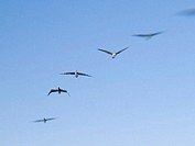 Birds in flight over the harbour of Santa Barbara, California, USA (Soft Focus Effect)