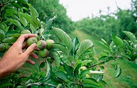 Apple thinning in orchard