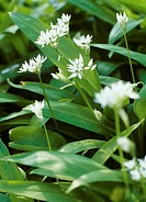 Ramsons wild garlic with flowers close-up