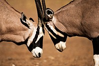 Gemsbok (Oryx gazella). Kalahari-Gemsbok National Park, South Africa
