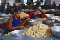 Dry fruit , women grading cashew nuts in factory , karnataka , india