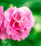 A pink clematis flower