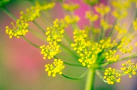 Dill Blossom close-up. Anethum graveolens. June  2005. Maryland, USA.
