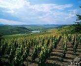 Vineyard near Tokaj, Hungarian sweet wine region