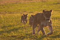 , Lioness and 2 cubs walk the plains at sunrise, Lioness and 2 cubs walk the plains at sunrise,