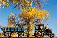 An interesting juxtaposition of a tractor, golden poplar leaves and the brilliant blue sky of Inner Mongolia