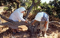 N  E  Aegean, Chios, Mastic Harvesting mastic