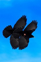Switzerland, Europe, Alpine Chough, Pyrrhocorax graculus, Two, Flying, Blue sky, Animal, Animals, Bird, Birds, Mountai