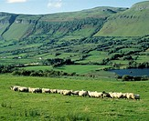 Sheep in front of Ben Bulben in County Sligo, Ireland