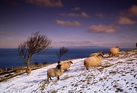 Sheep in the snow, Ireland