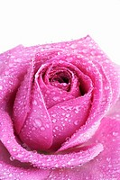 Pink rose with water droplets, close-up