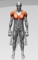 Standing biceps curl Part 2 of 2