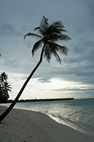 Palm tree on Maldives Island, Indian Ocean