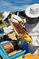 Beekeepers working with hives. Beekeeping in the Arribes del Duero Natural Park. Hinojosa del Duero. Salamanca. Castilla y Leon. Spain.