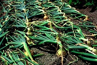 Onions with leaves tied down before lifting  Allium cepa