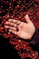 Cranberries, Massachusetts, USA