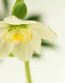Helleborus hybridus, Hellebore