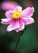 Anemone x hybrida 'Max Vogel', Anemone