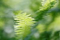 Dryopteris filix-mas, Fern - Buckler fern