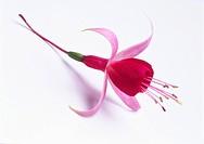 Fuchsia - variety not identified, Fuchsia