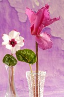 Cyclamens in glass vases