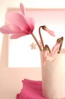 Pink cyclamen in a table lantern