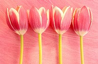 Pink tulip blossoms