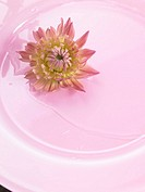 Chrysanthemum blossom on a pink plate