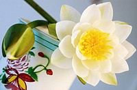 White water lilies decorated in a tea container