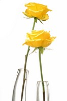 Two yellow roses in glas vases