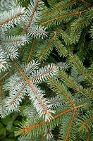 Closeup of spruce tree branches