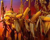 Agriculture - Mature dry corn with sunset sky background / studio