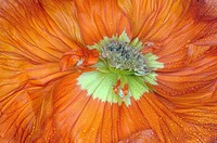 Poppy blossom, close up