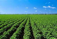 Agriculture - Large mid growth cotton field / Arkansas, USA
