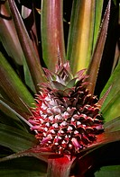 Agriculture - Pineapple plant with a pineapple in early stage of development / Kaanapali, Maui, Hawaii, USA