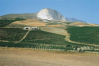 Italy - Sicily Region - Rises between Sciacca and Caltabellotta - Vineyards