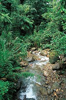 Rainforest, Morne Trois Pitons National Park (UNESCO World Heritage List, 1997), Dominica.