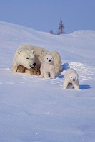 Polar bear Ursus maritimus mother with two cubs on snow