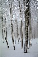 Italy - Calabria Region - Aspromonte National Park - Montalto - Beech grove - Snow