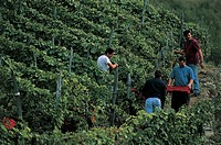 Italy - Lombardy Region - Valtellina - Chiuro - Grape harvest at Rainoldi Wine Company vineyards