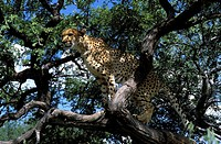cheetah in his playtree